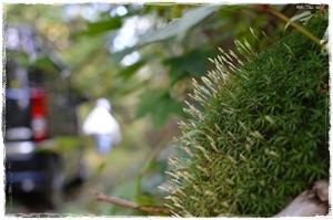 9.26 苔の花.JPG